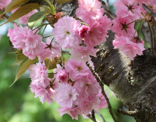 2012八重桜2