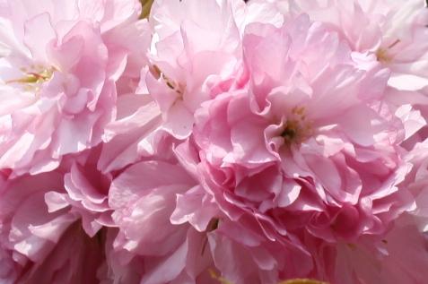 2012八重桜3