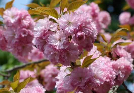 2012八重桜4