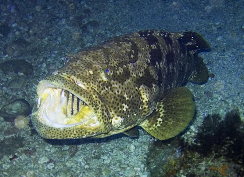 800px-Epinephelus_malabaricus.jpg