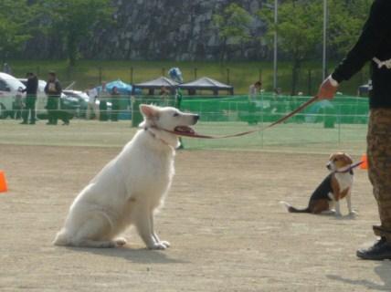 犬と対面しての30秒間の停座(紐付)