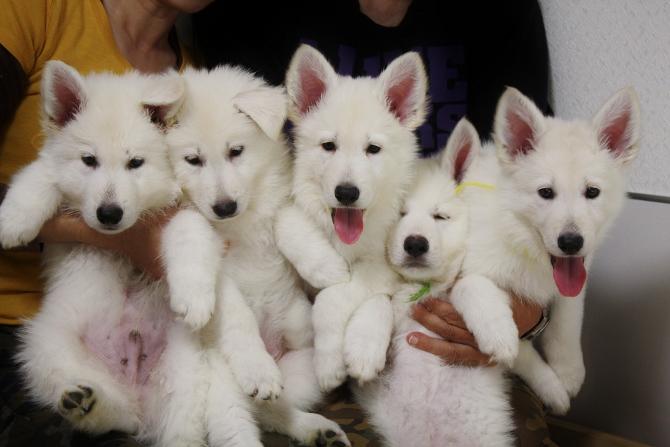 ホワイトスイスシェパード仔犬5匹勢ぞろい