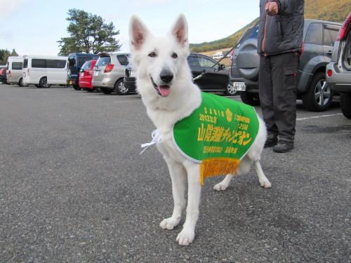 ホワイトスイスシェパード★ビオラ★PD(警察犬協会)の訓練競技会