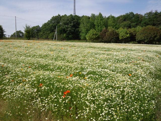 カモミールは白くて小さく綺麗な花だなぁ~