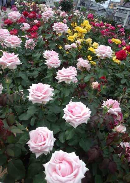 色鮮やかなバラ