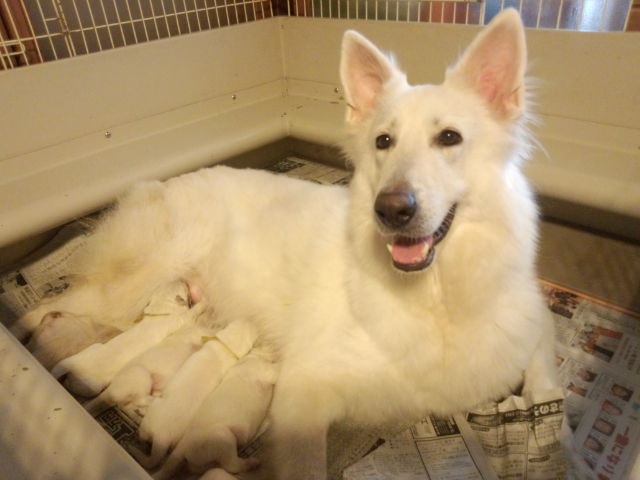 ホワイトスイスシェパード★リサ★と仔犬達