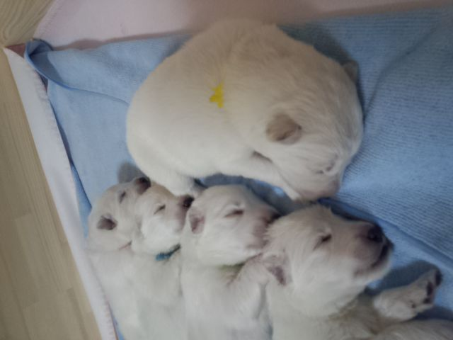 ホワイトスイスシェパー★リサの仔犬★5匹揃って