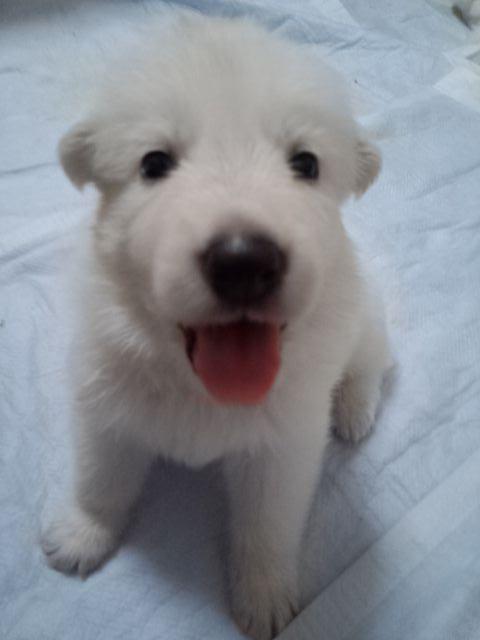 ホワイトスイスシェパード仔犬笑顔