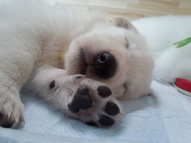 ホワイトスイスシェパード仔犬笑いながら寝てます