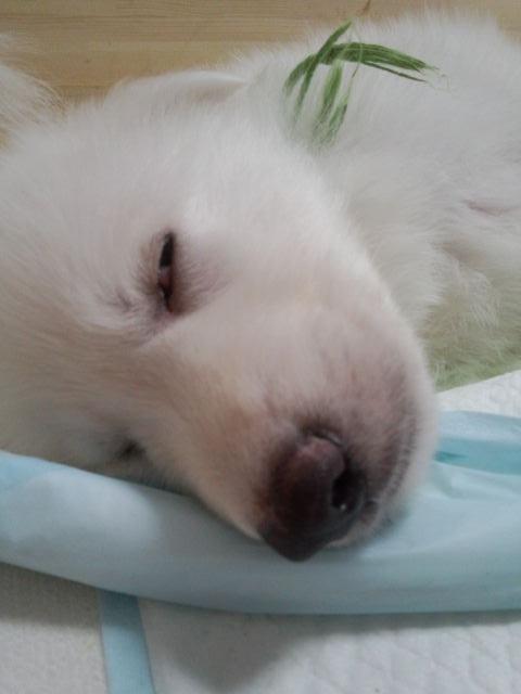 白目の寝顔のきみどり坊