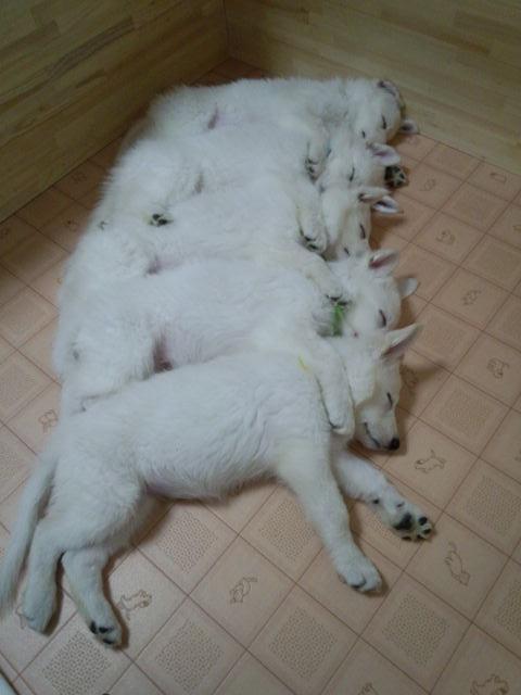 ホワイトスイスシェパード仔犬綺麗に並びました