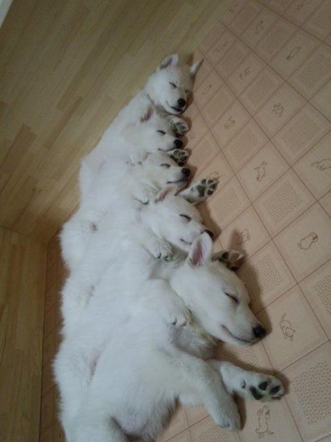 ホワイトスイスシェパード仔犬整列