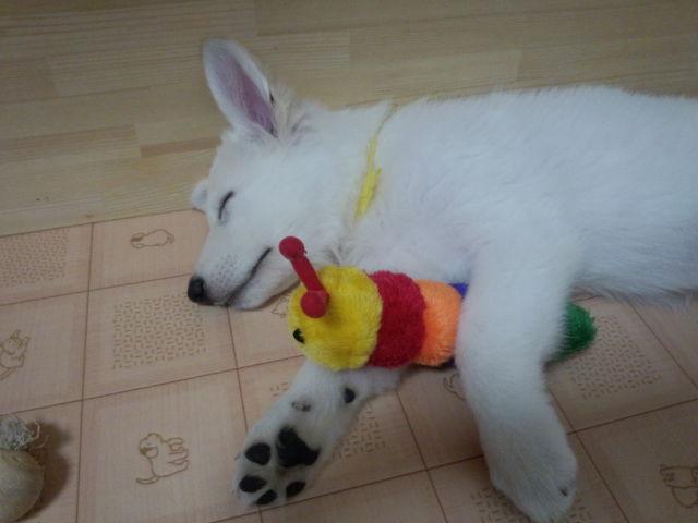 ホワイトスイスシェパード仔犬の寝姿★ルーア★