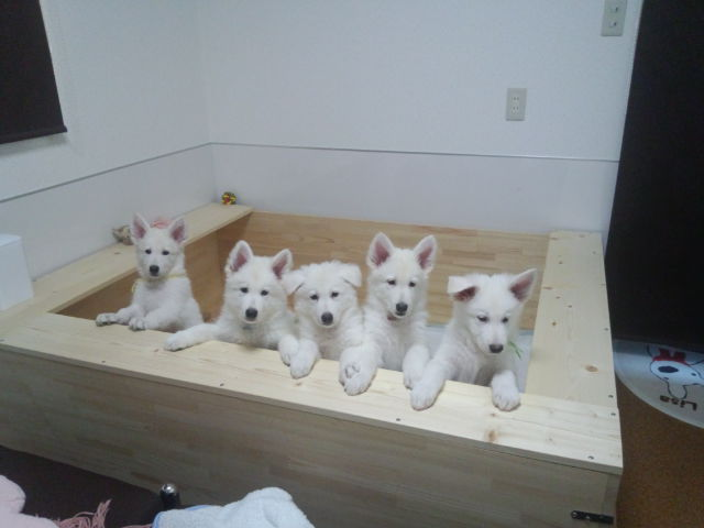 ご飯クレ~~ホワイトスイスシェパード仔犬