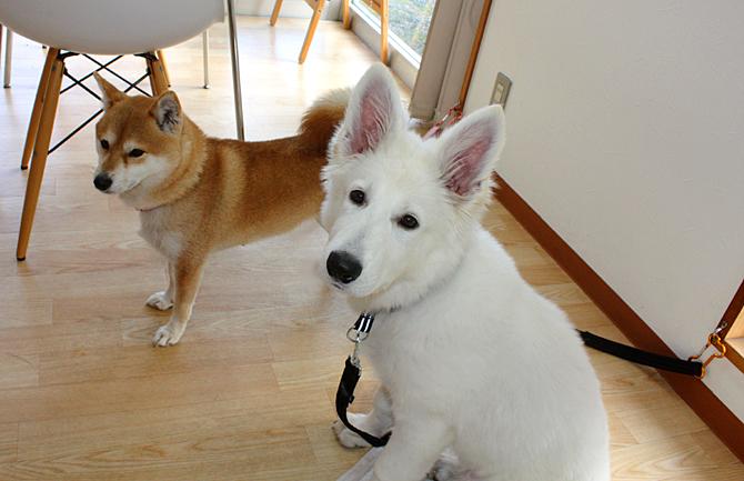 柴犬さんのいるドッグカフェにデビュー