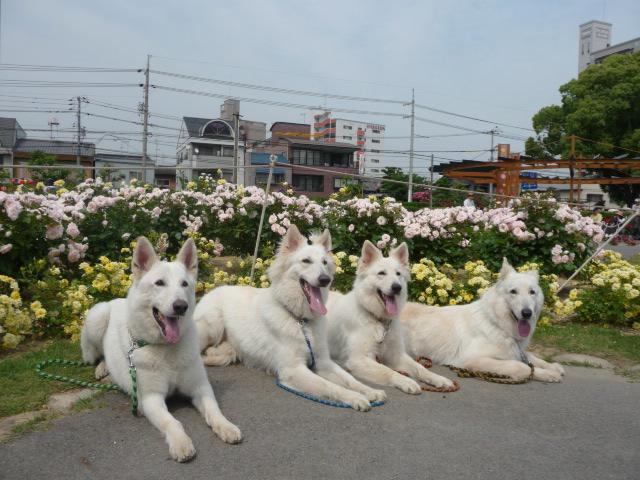 ホワイトスイスシェパード♪4匹♪とバラ