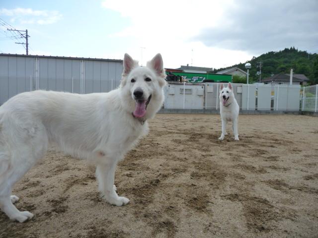 ホワイトスイスシェパード★レオン★&★リサ★