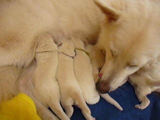 ホワイトスイスシェパード★リサの仔犬★1週間目