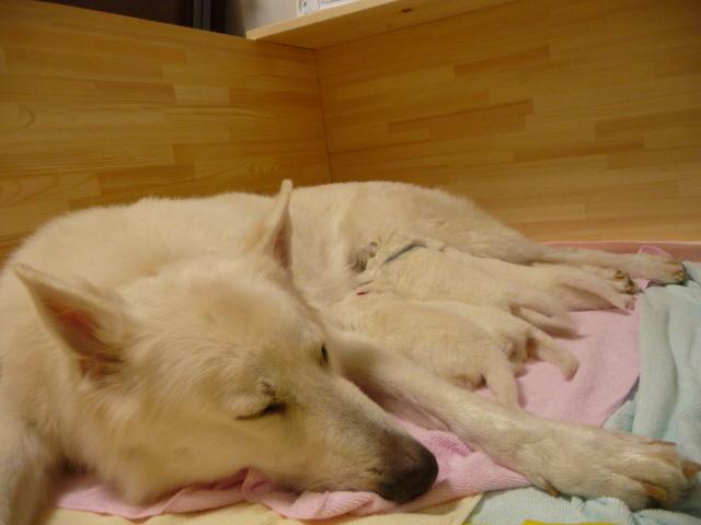 ホワイトスイスシェパード★リサ★の仔犬5匹