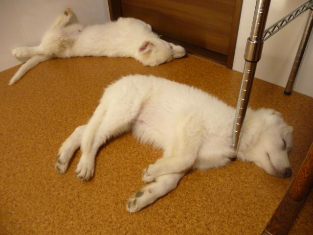 ★ランスロット★は足全開で寝てる