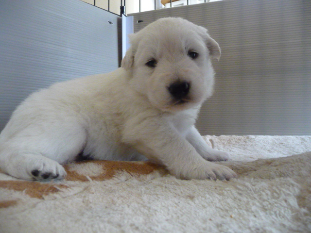 ホワイトスイスシェパード仔犬
