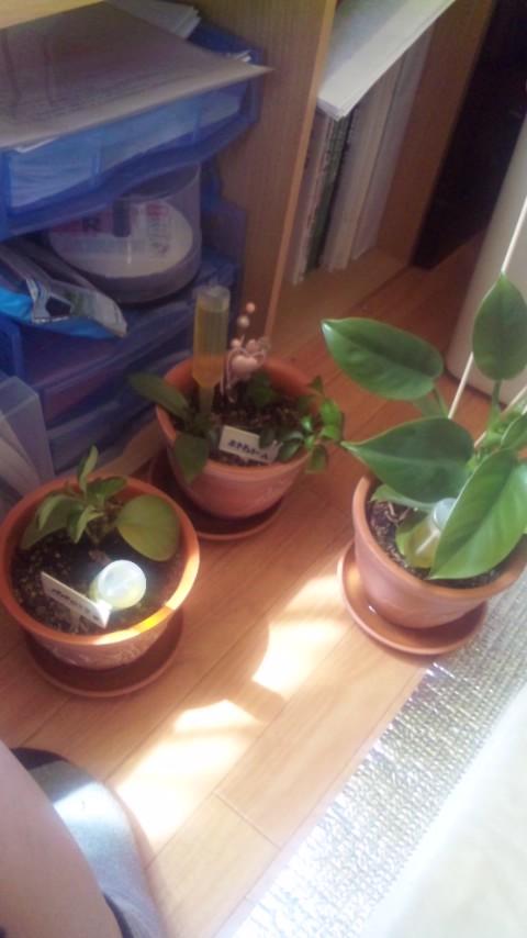 避難した鉢植え