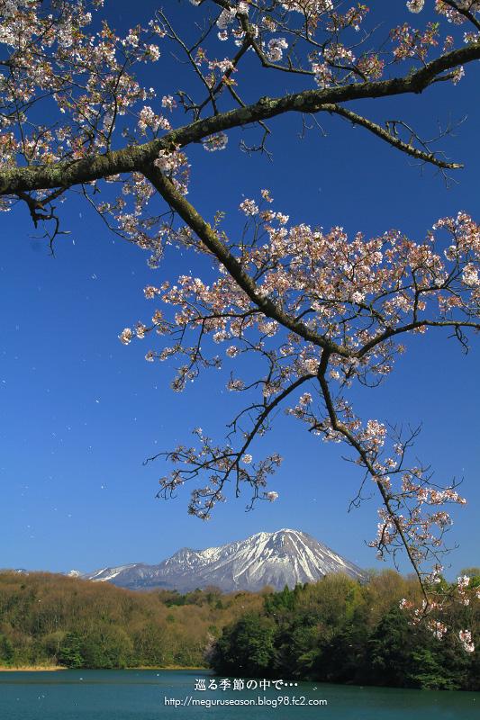 岡成池 大山 桜