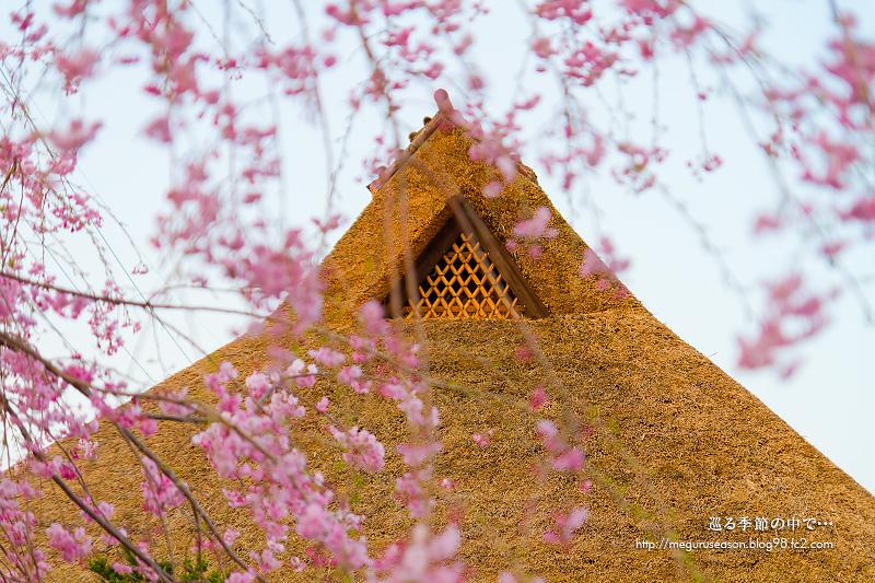 新庄村 がいせん桜