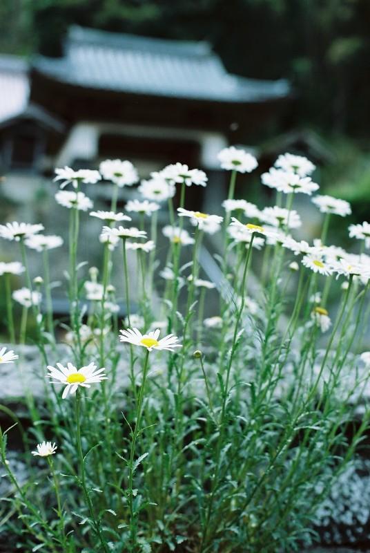 白い花・・ここでよく見かけたけど、マーガレット?
