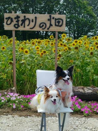 ひまわり畑♪12.7.25