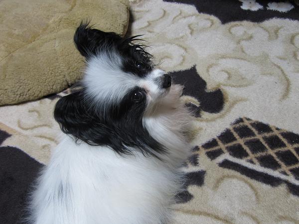 モニター犬