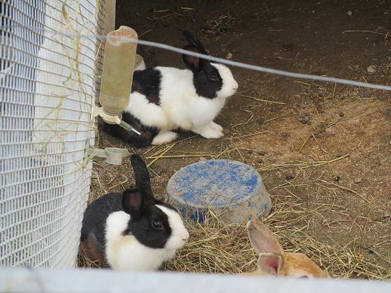 白黒ウサギ