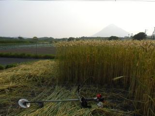 麦畑刈り取り
