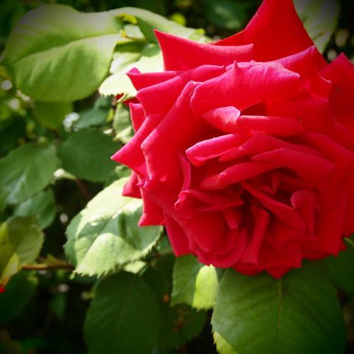 まっかなバラ