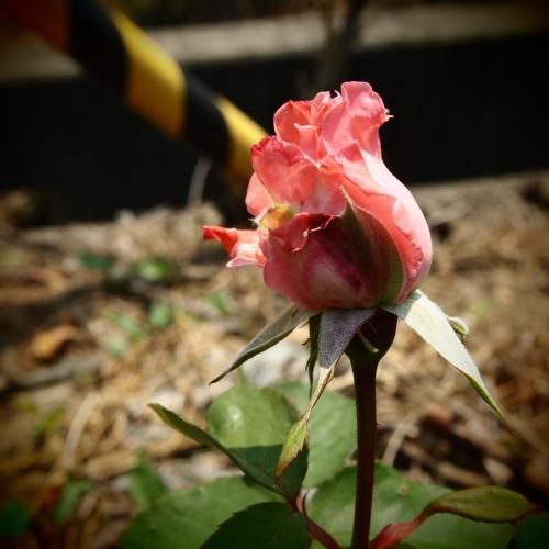 ピンクのバラのつぼみ