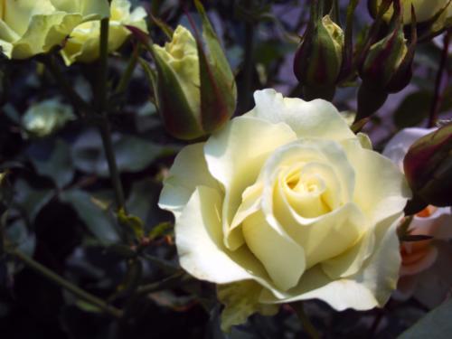真っ白なバラ