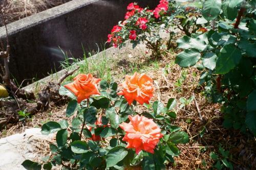 オレンジバラ