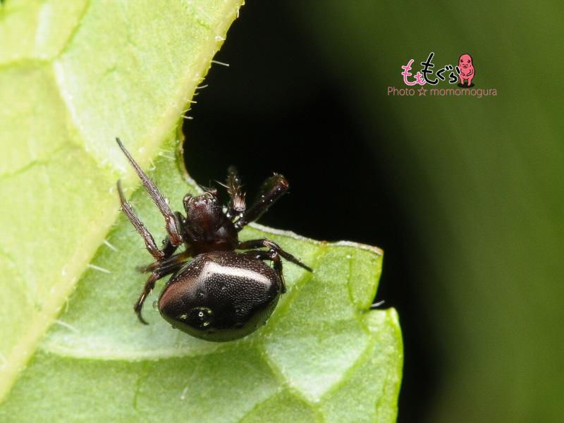DSC_26090マルヅメオニグモ黒色個体