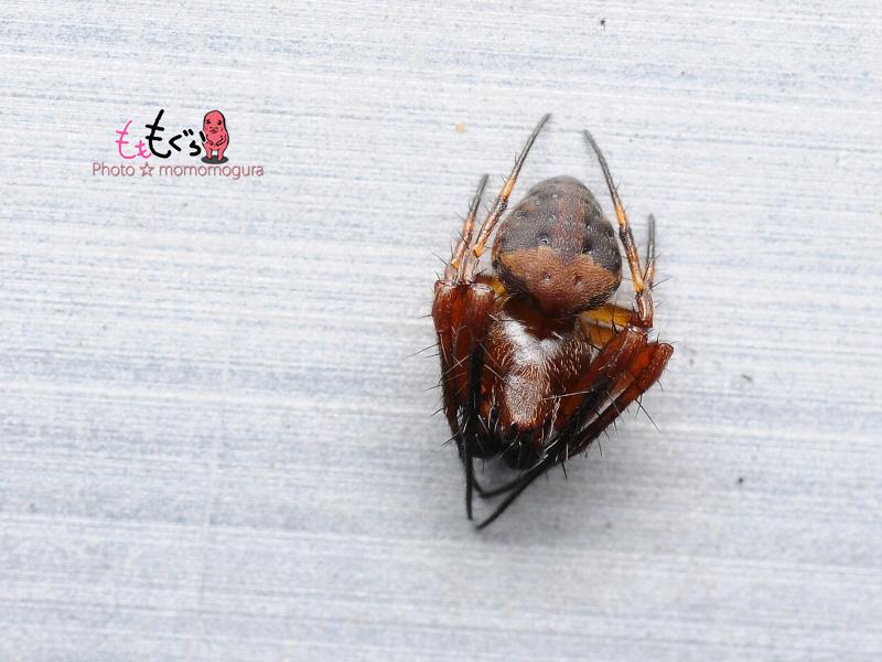 DSC_26700マルヅメオニグモ♂