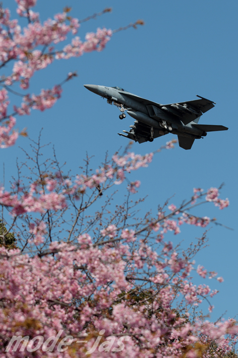 NF403と桜