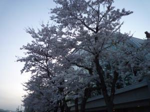 市民体育館の桜
