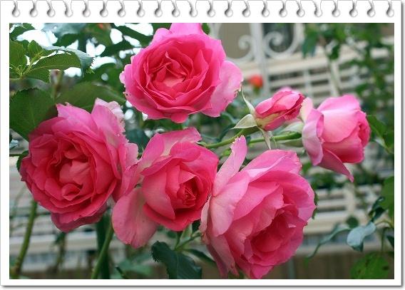 s-ピンクオブプリンセス1101IMG_5403