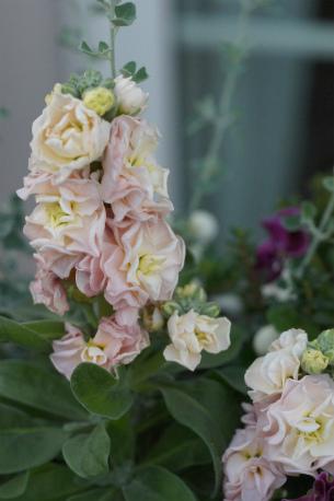 アンティークピンクの八重咲きストック