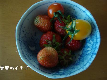 実家のイチゴ