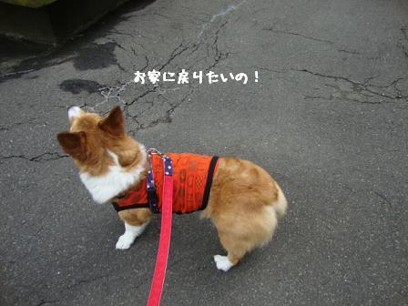 散歩拒否杏2