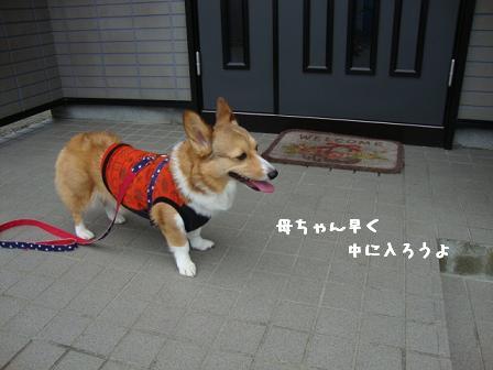 散歩拒否杏6
