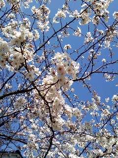 Image1381桜