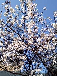 Image1371桜2