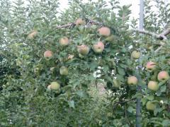 山梨りんご2