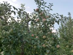 山梨りんご